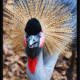 East-African-Crane-Close-Up