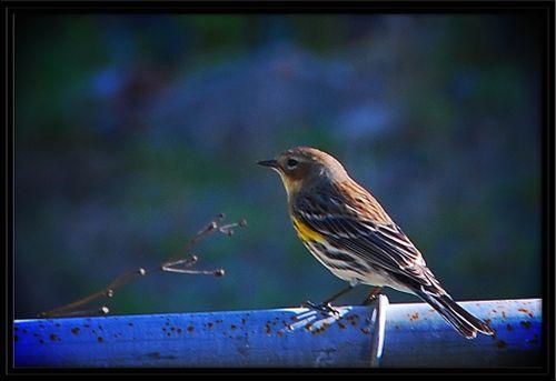 Yellow rumped Warbler-1